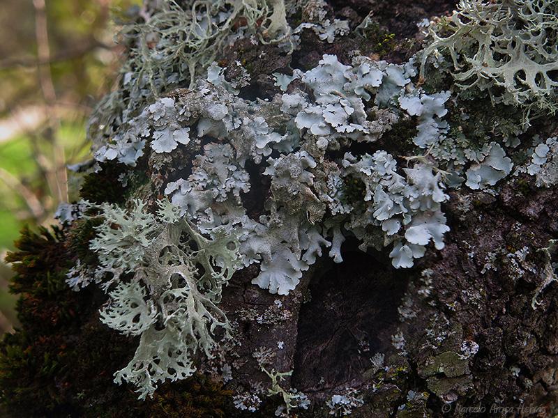 Parmelina tiliacea y Evernia prunastri