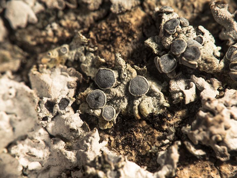Physcia aipolia y Physconia grisea