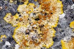 Caloplaca aurantia