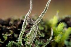 Cladonia coniocracea
