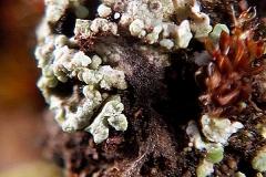 Cladonia sp