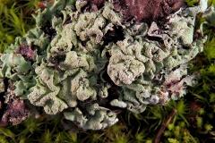Hypogymnia farinosa