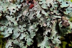 Parmelia saxatilis