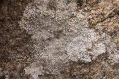 Pertusaria sp.