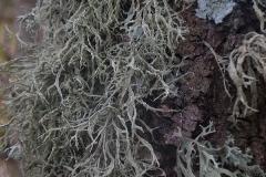 Ramalina farinacea