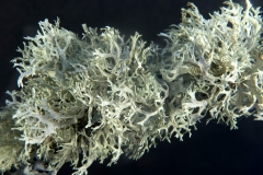 Usnea barbata y Evernia prunastri