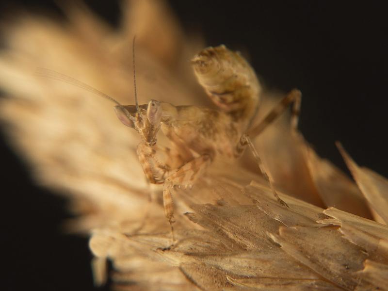 Creobroter gemmatus ninfa L3