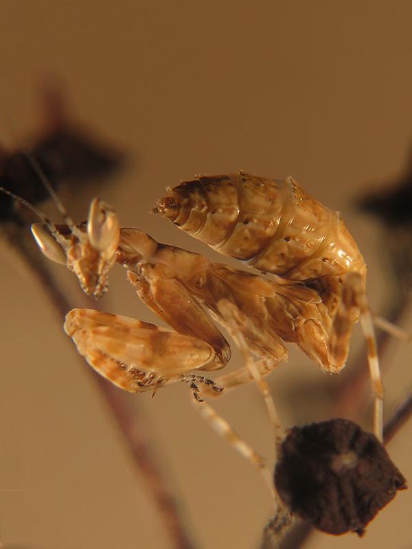 Creobroter gemmatus ninfa LX2