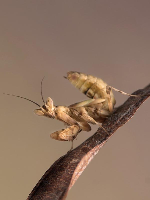 Creobroter gemmatus subadulto
