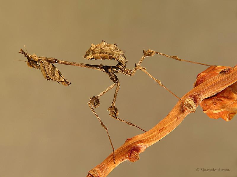 Gongylus gongylodes ninfa