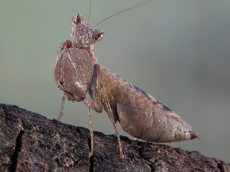 Hestiasula cf. hoffmanni hembra adulta