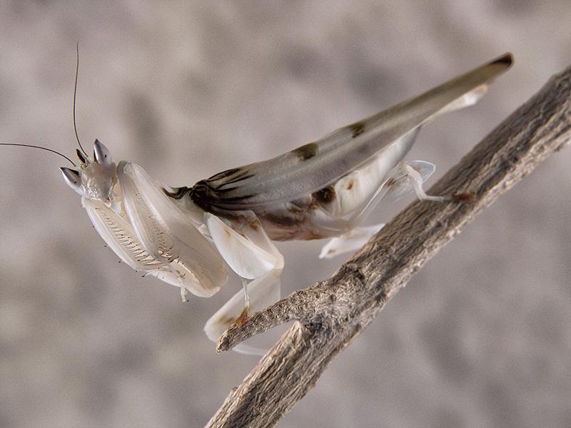 Hymenopus coronatus hembra