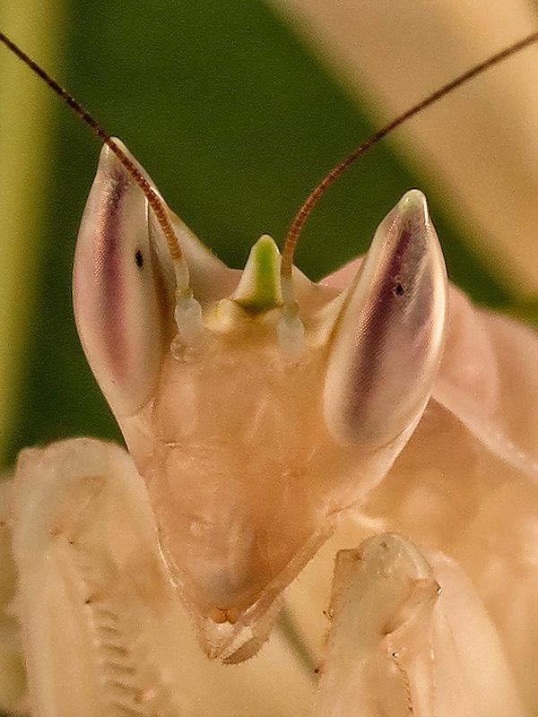 Hymenopus coronatus ninfa hembra LX1