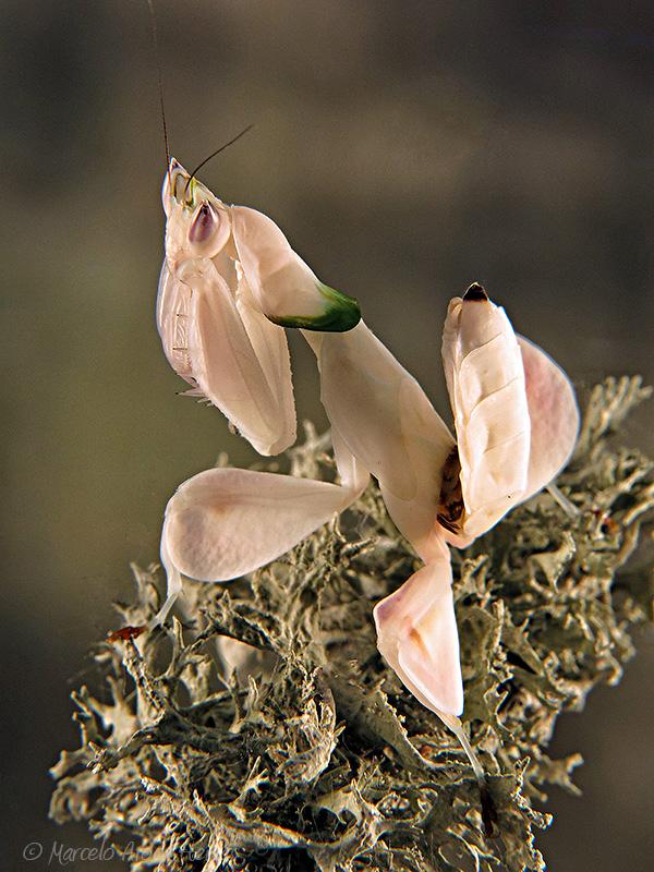 Hymenopus coronatus ninfa hembra LX3