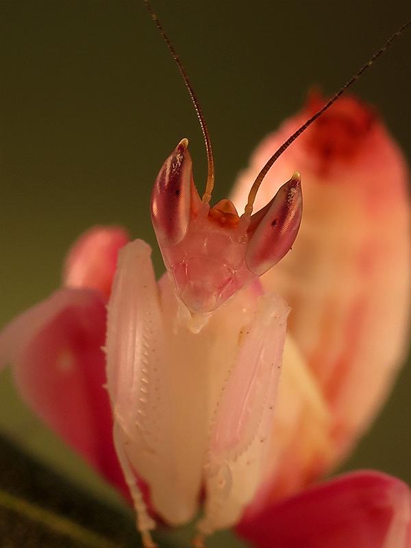 Hymenopus coronatus ninfa macho LX1