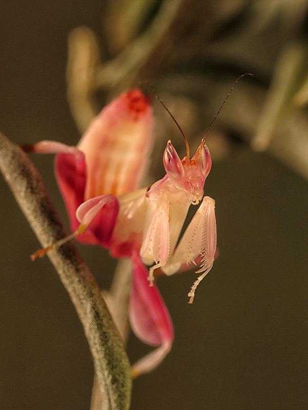 Hymenopus coronatus ninfa macho LX