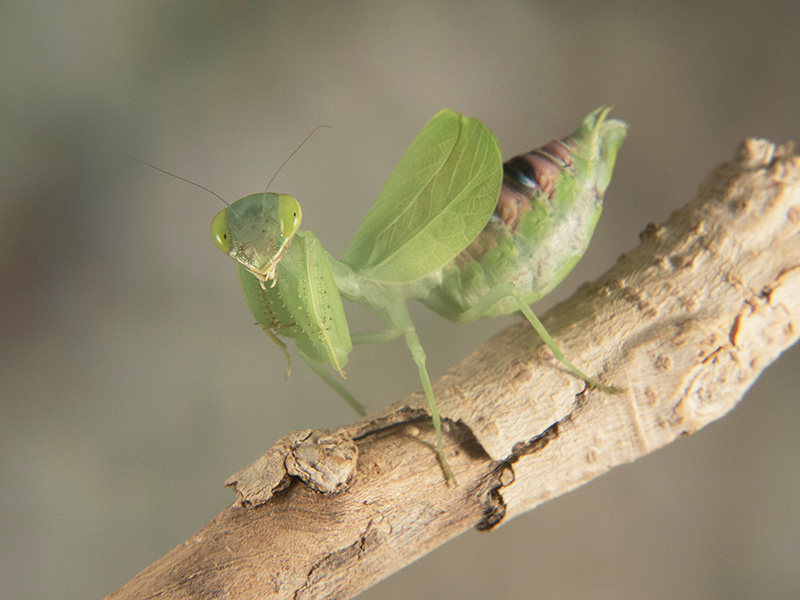 Photina sp. hembra adulta