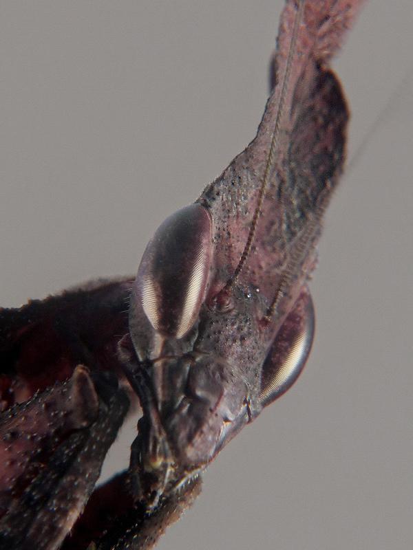 Phyllocrania paradoxa hembra adulta