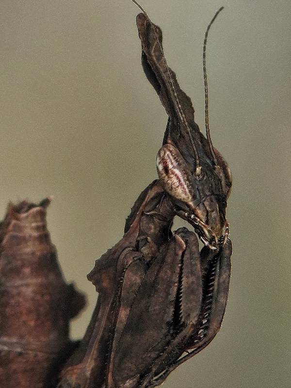 Phyllocrania paradoxa ninfa LX1