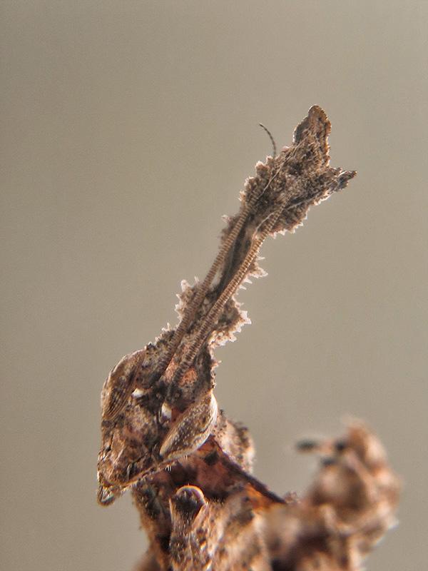 Phyllocrania paradoxa ninfa LX6
