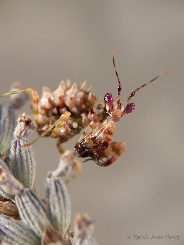 Pseudocreobotra wahlbergii hembra ninfa L3