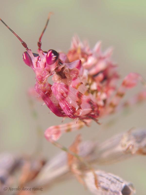 Pseudocreobotra wahlbergii hembra ninfa L4