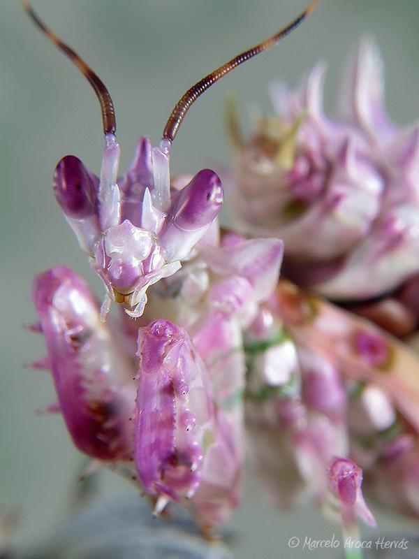 Pseudocreobotra wahlbergii hembra ninfa L6