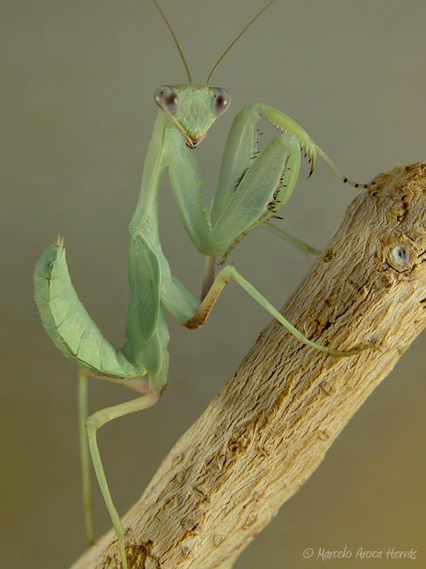 Sphodromantis gastrica macho subadulto