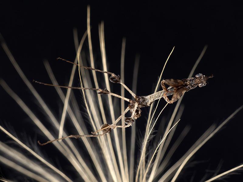 exuvia Gongylus gongylodes ninfa LX2