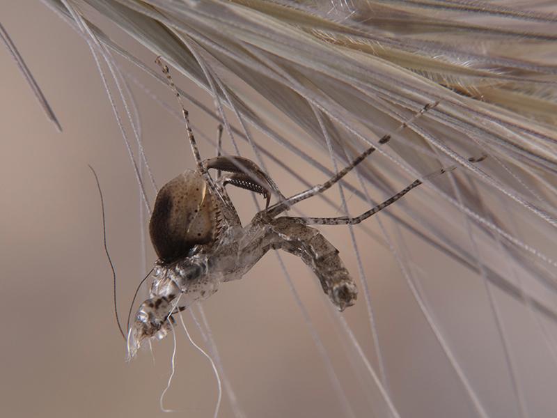 exuvia Hestiasula cf. hoffmanni ninfa LX1