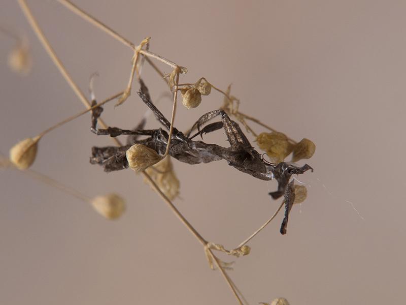 exuvia Phyllocrania paradoxa ninfa LX1