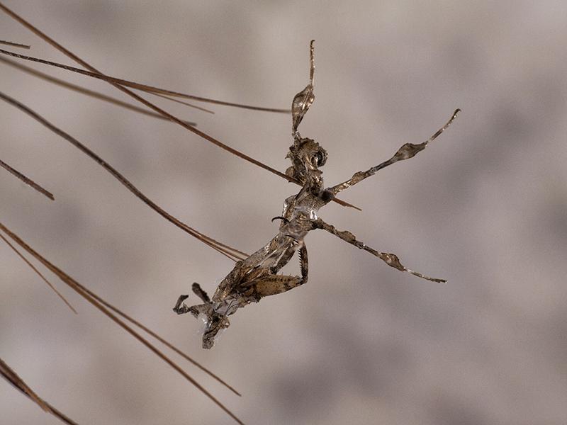 exuvia Phyllocrania paradoxa ninfa LX5