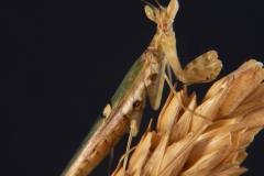 Creobroter gemmatus macho