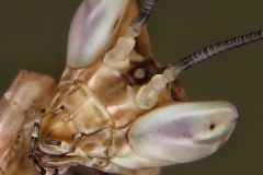 Creobroter gemmatus ninfa macho LX3