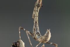 Deroplatys lobata ninfa LX1
