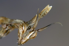 Empusa pennata ninfa macho