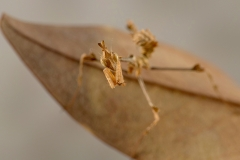 Gongylus gongylodes hembra ninfa L2