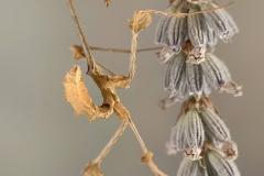 Gongylus gongylodes hembra ninfa L3