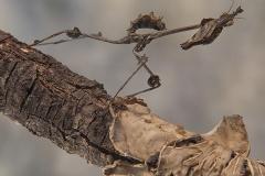 Gongylus gongylodes ninfa LX2