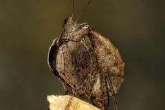 Hestiasula cf. hoffmanni ninfa LX1
