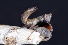 Hestiasula cf. hoffmanni ninfa LX3