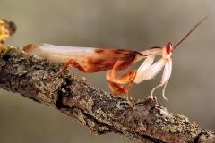 Hymenopus coronatus macho adulto