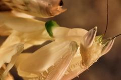 Hymenopus coronatus ninfa hembra LX2