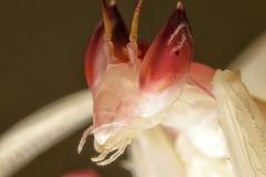 Hymenopus coronatus ninfa macho LX2