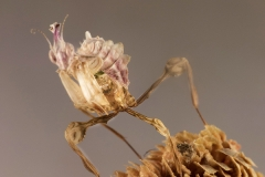 Idolomantis diabolica ninfa hembra L2