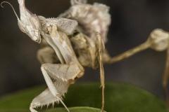 Idolomantis diabolica ninfa LX1