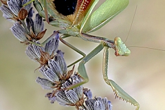Iris oratoria hembra