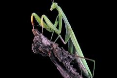 Mantis religiosa hembra