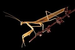 Mantis religiosa macho