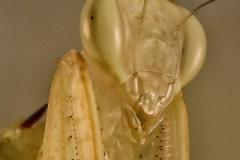 Photina sp. ninfa LX1